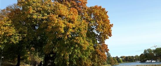 höstlöv Hagaparken /autumn leaves
